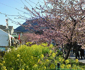 満開の河津桜